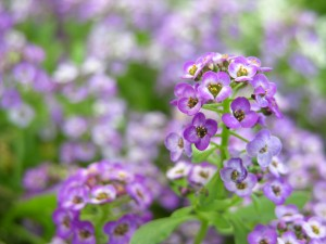 Beautiful Small Purple Flowers Photograph by Katherine Lindsey Photography