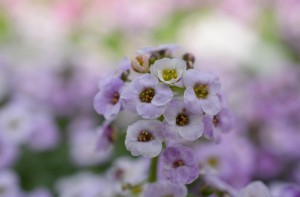 Small Purple White Flower Photograph by Katherine Lindsey Photography