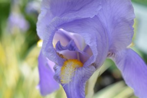 Blue Iris Photograph by Katherine Lindsey Photography