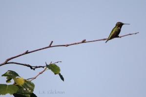 hummingbird 1 by LK Glickman