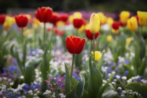 A field of mixed tulips by Leighton Collins