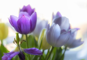Purple and blue tulips by Leighton Collins