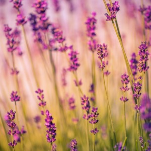Beautiful Sunset lavender flowers by Levente Bodo