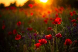 Beautiful Sunset poppy flowers by Levente Bodo