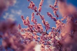 Spring cherry flowers by Levente Bodo