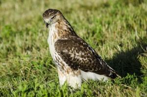Juvenile Red Tail Hawk by MJB