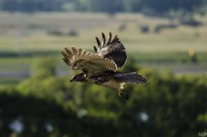 Juvenile Red Tail Hawk in flight by MJB