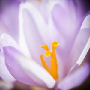 Crocus flower by Marcin Lukaszewicz