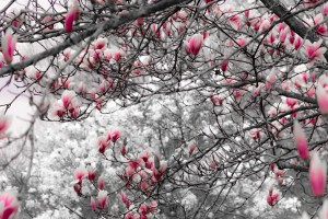 Magnolia Tree In Spring Bloom by Matthew D Alto