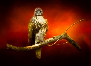 Red Tail Hawk by Michel Soucy