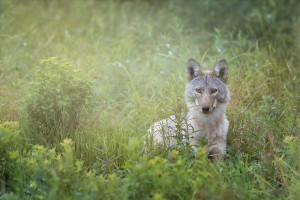 Eastern Coyote by Michel Soucy