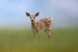 Spotty the Fawn by Michel Soucy