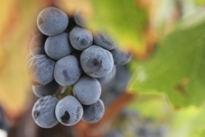 Napa Grape Cluster 01 by Pirate Art Dept  Inc