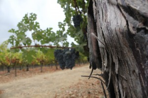 Vineyard Fence Post by Pirate Art Dept  Inc