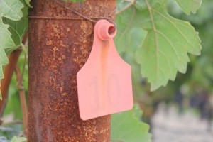 Vineyard Tag by Pirate Art Dept  Inc