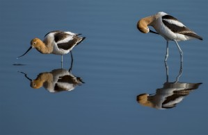 American Avocets by Robert R  Grove