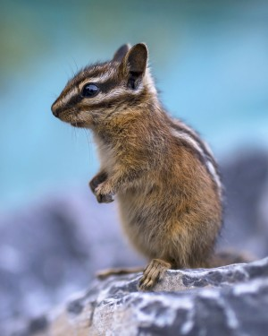 Baby chipmunk  by Robert R  Grove