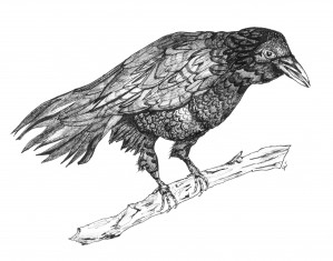 Crow Pen and Ink by Susan Watson