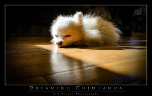Dreaming Chihuahua by Tim Warris Photography