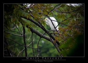White Treegret by Tim Warris Photography