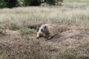 Prairie Dog at Devil's Tower by Valriv