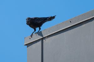 Crow by W0P3R