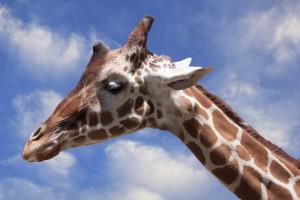 Giraffe & Sky by Wallshazam