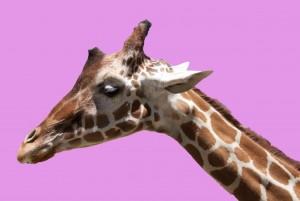 PinkGiraffe by Wallshazam