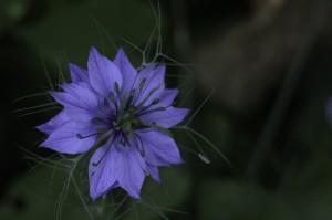 Nigella damascena by William Gillard