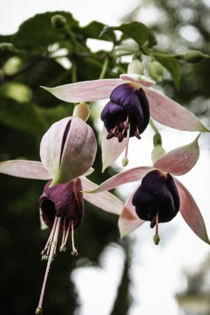 Garden News Fushia by William Gillard