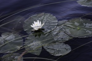 Water Lily by William Gillard
