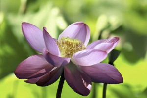 Lotus by William Gillard
