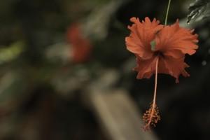 Hibiscus rosa-sinensis by William Gillard