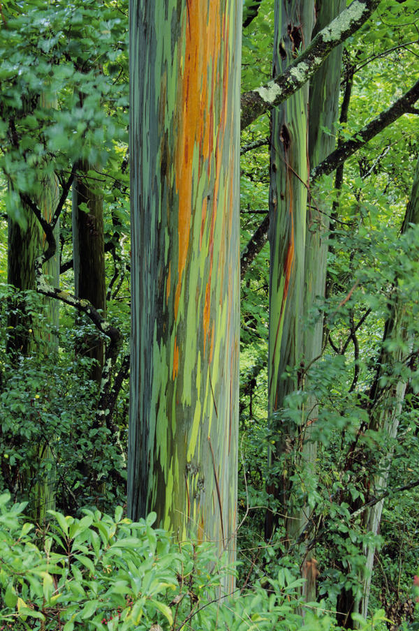 Hawaii Maui Hana Rainbow Eucalyptus Tree Trunk