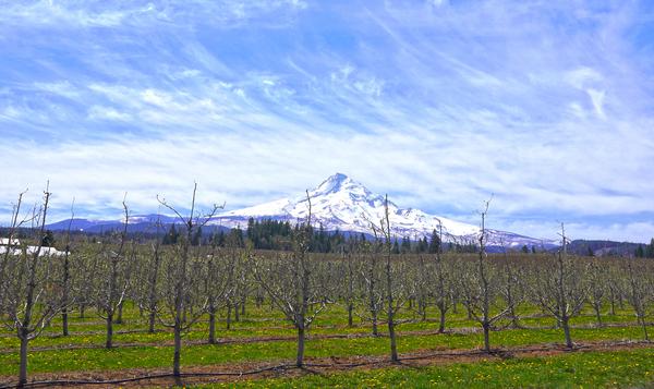 Spring at the Orchards  - Mount Hood - Oregon Digital Download