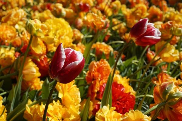 Spring Blooms of Holland 7 of 8 Digital Download