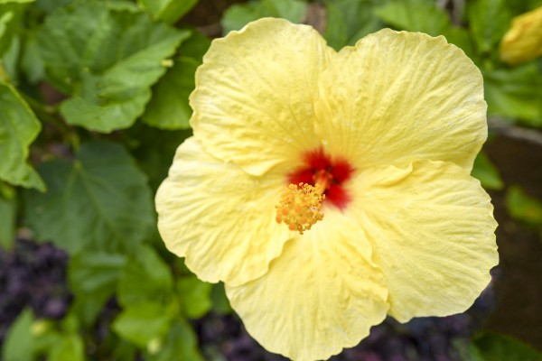 Yellow Hibiscus Tropical Flower Hawaii Digital Download