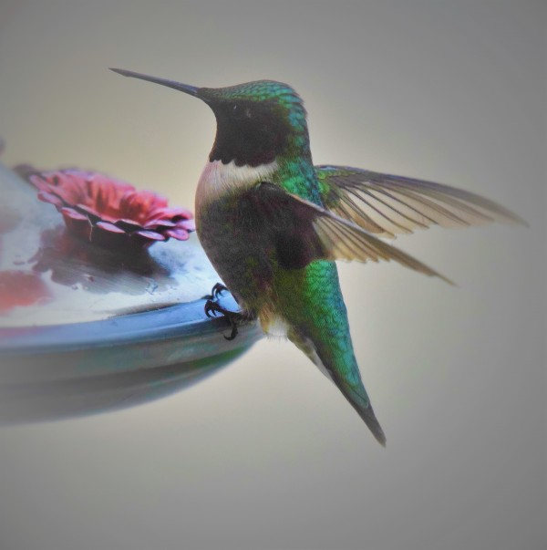Colibris by Anniestpierreartistephotographe