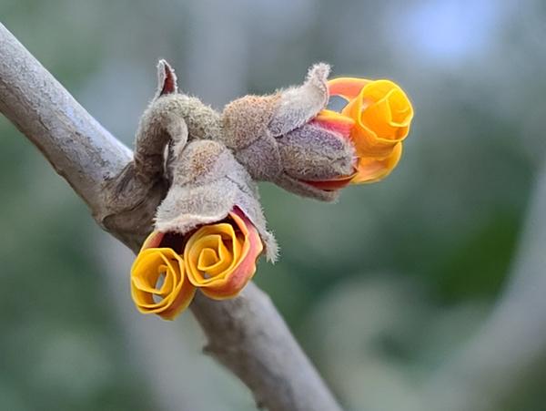 February  Witch Hazel bloom by Adam M Bundy