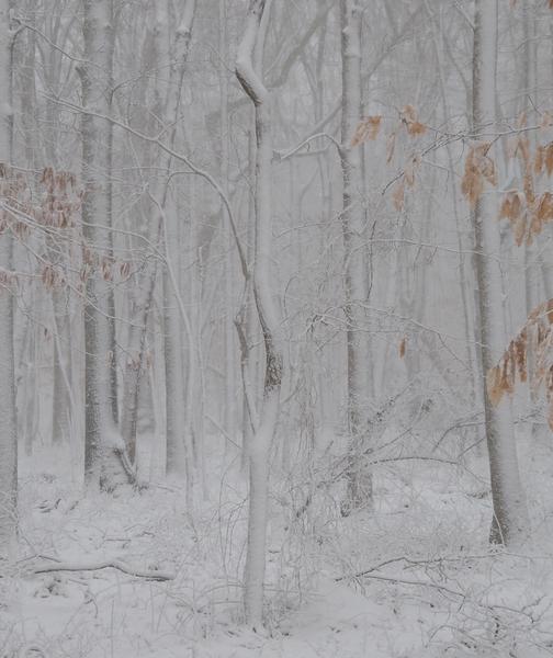 Beech Forest Snow no 4 by Adam M Bundy