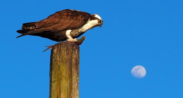 Osprey 1 by Adam M Bundy