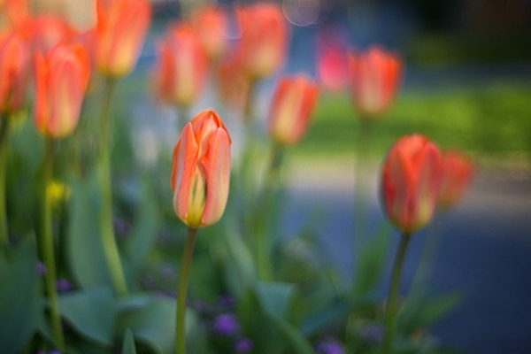 Tulips For You by Amazing Vancouver & Beautiful British Columbia by Jorge Ligason