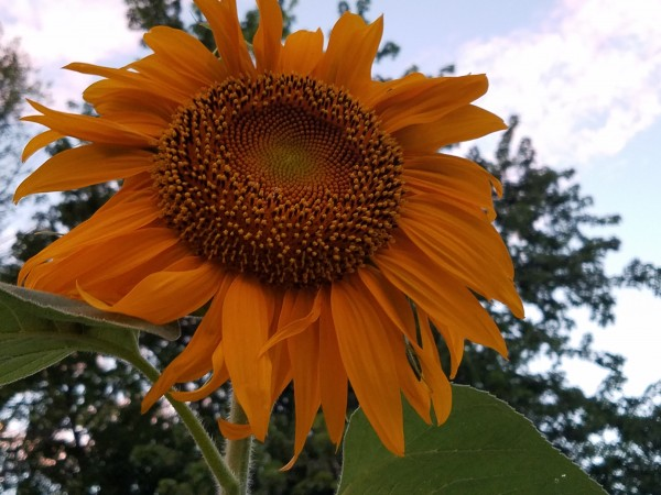 Giant Sunflower by Amy Joy Elizabeth Pearl