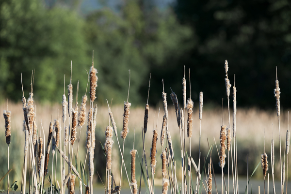 Cat Tails in Spring by Andy LeBlanc
