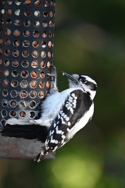 Downy woodpecker at feeder by Andy LeBlanc