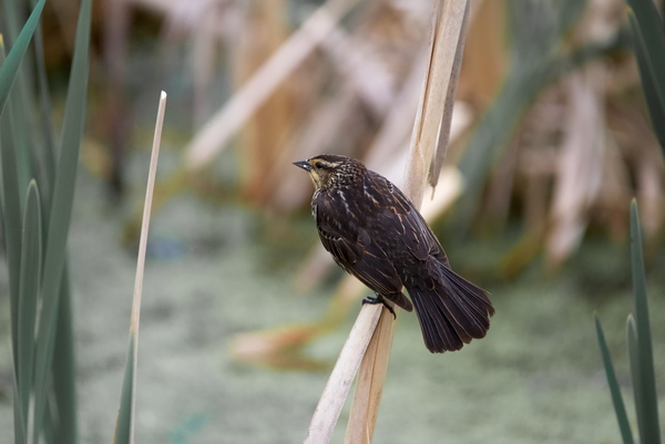 Female redwing blackbird on cat tail by Andy LeBlanc