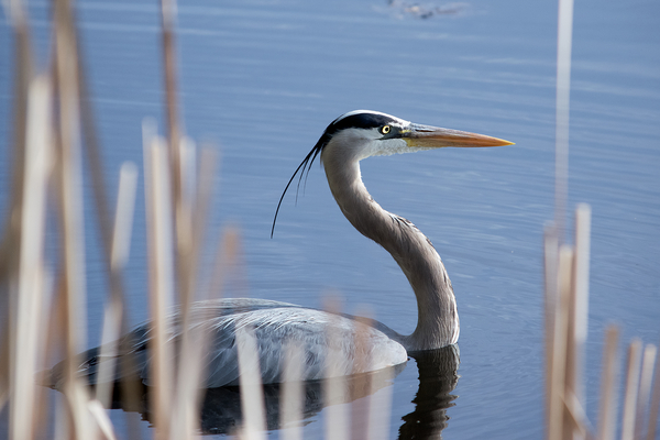 Great blue heron swimming by Andy LeBlanc