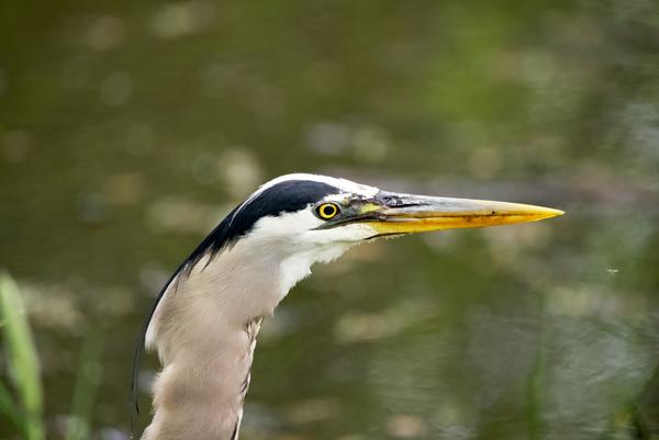 Great blue heron head shot by Andy LeBlanc