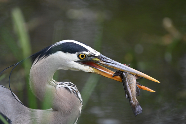 Great blue Heron with catch by Andy LeBlanc