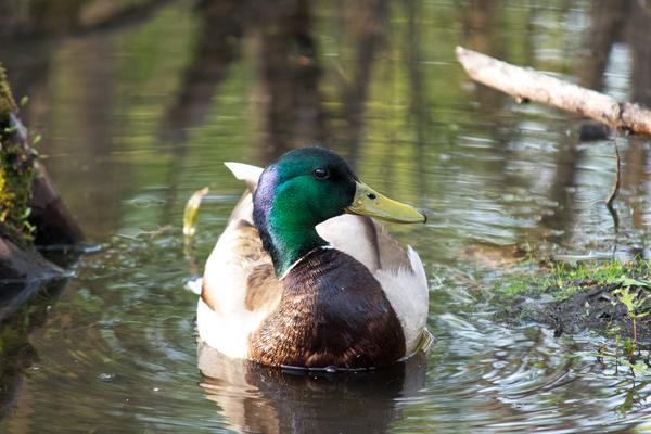 Mallard Duck by Andy LeBlanc
